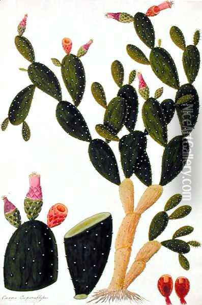 Liedah Badah, Cardasse Cochenille, from 'Drawings of Plants from Malacca', c.1805-18 Oil Painting - Anonymous Artist