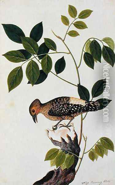 Boorong Klato, from 'Drawings of Birds from Malacca', c.1805-18 Oil Painting - Anonymous Artist