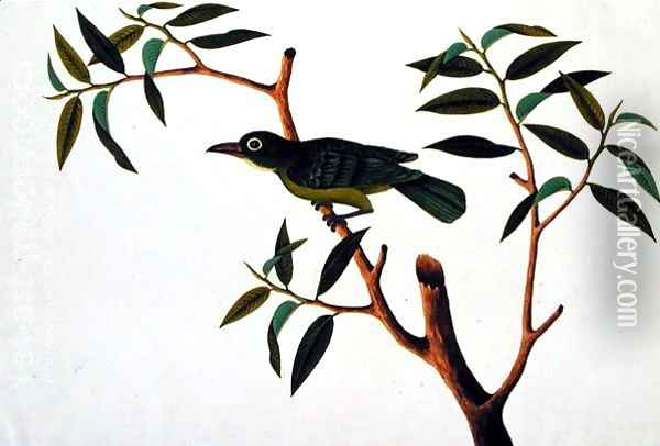 Bird in a Tree, from 'Drawings of Birds from Malacca', c.1805-18 Oil Painting - Anonymous Artist