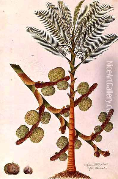 Sago, from 'Drawings of Plants from Malacca', c.1805-18 Oil Painting - Anonymous Artist