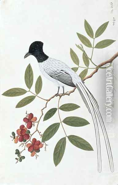 Bua Redang Boorong cha-wie, from 'Drawings of Birds from Malacca', c.1805-18 Oil Painting - Anonymous Artist