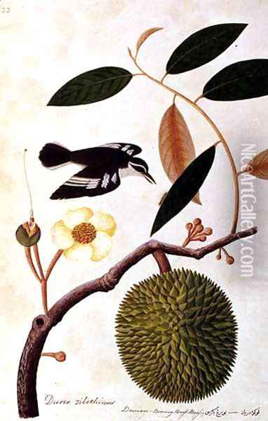 Durie zibethinus, Dorrian or Boorong Brass Brass, from 'Drawings of Birds from Malacca', c.1805-18 Oil Painting - Anonymous Artist