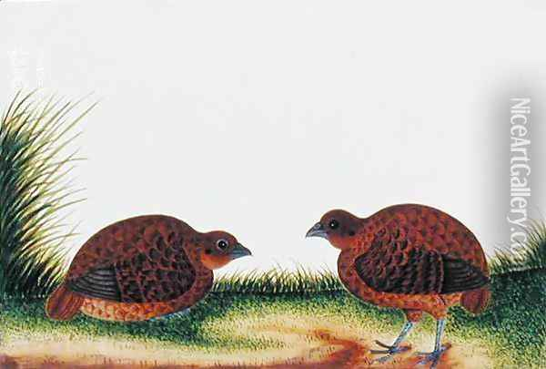Boorong Beitam, from 'Drawings of Birds from Malacca', c.1805-18 Oil Painting - Anonymous Artist