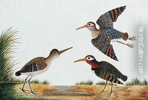 Great Snipe, Boorong Berbie, from 'Drawings of Birds from Malacca', c.1805-18 Oil Painting - Anonymous Artist