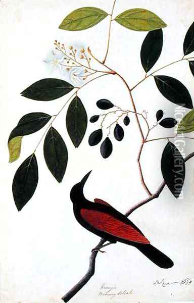 Kranjie, Boorong Seliah, from 'Drawings of Birds from Malacca', c.1805-18 Oil Painting - Anonymous Artist