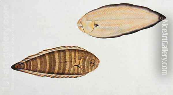 Tung Fish, Eekan Liedah Liedah, from 'Drawings of Fishes from Malacca', c.1805-18 Oil Painting - Anonymous Artist