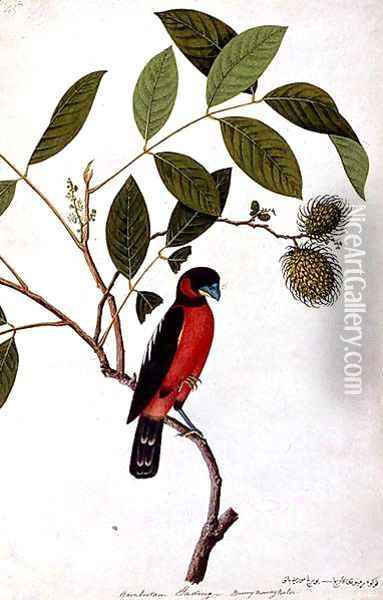 Rainbootani Gading, Boorong Mooray Batou, from 'Drawings of Birds from Malacca', c.1805-18 Oil Painting - Anonymous Artist