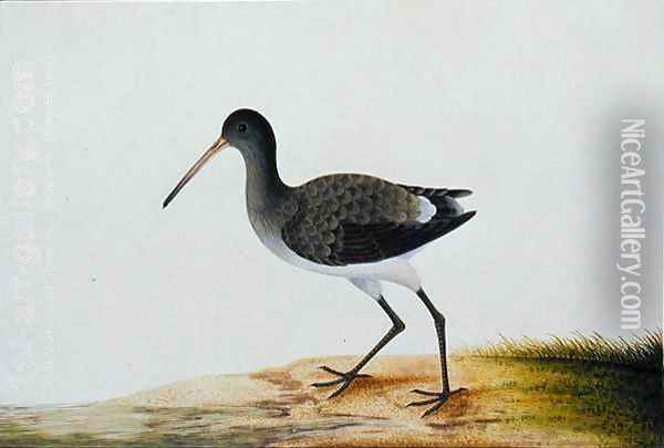 Gajie Gajie, from 'Drawings of Birds from Malacca', c.1805-18 Oil Painting - Anonymous Artist