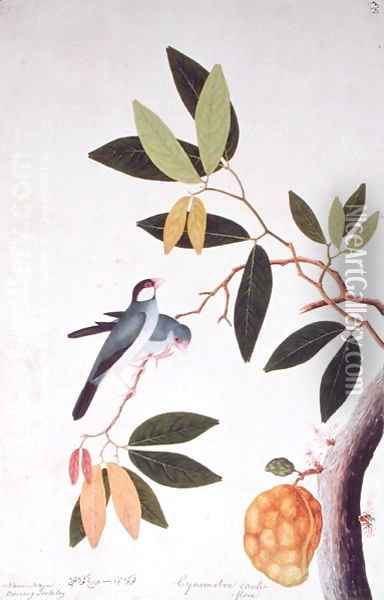 Nam-Nam Boorong Goolalay, Cynometra cauliflora, from 'Drawings of Birds from Malacca', c.1805-18 Oil Painting - Anonymous Artist