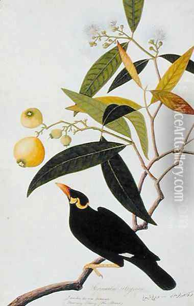 The Miena, Jamboo ai-ere Mawar Boorong Teong and Gracila Religiosa, from 'Drawings of Birds from Malacca', c.1805-18 Oil Painting - Anonymous Artist