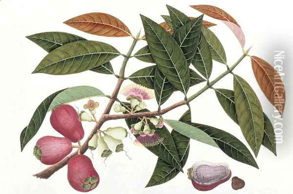 Jamboo Telore mera or Eugenia Malacceusis, from 'Drawings of Plants from Malacca', c.1805-18 Oil Painting - Anonymous Artist