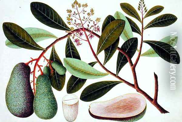 Langote or Mangifera, from 'Drawings of Plants from Malacca' Oil Painting - Anonymous Artist