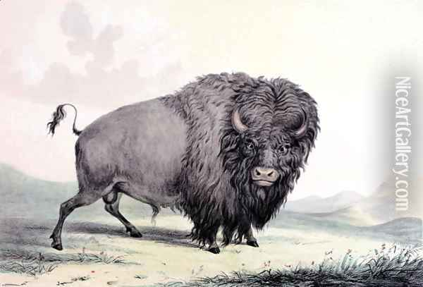 A Buffalo bull grazing Oil Painting - George Catlin