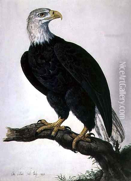White-headed Sea Eagle Oil Painting - Charles Collins