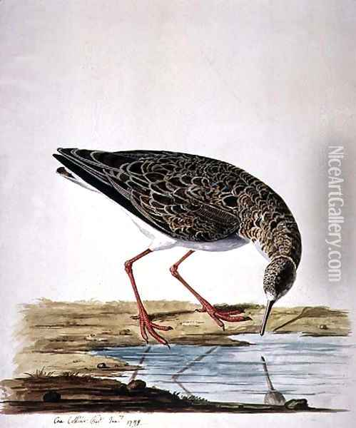 Curlew Sandpiper Oil Painting - Charles Collins