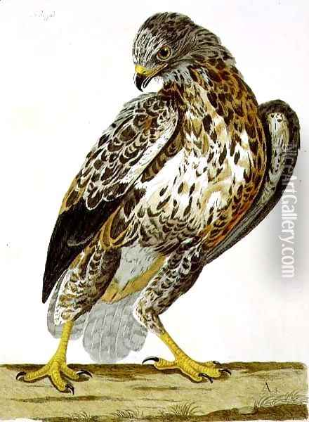 The Buzzard (Buteo buteo) plate from 'The British Zoology Oil Painting - Charles Collins
