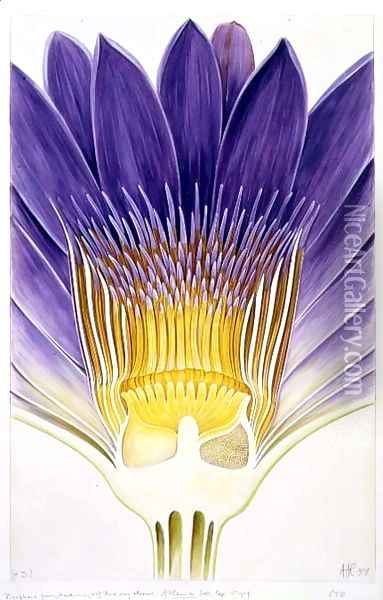 Drawing 8-7 Nymphaea capensis var. zanzibariensis (Cape Blue Water-Lily) 1907 Oil Painting - Arthur Henry Church