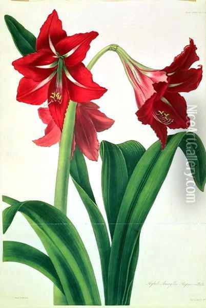 Hybrid Amaryllis Regina vittata Oil Painting - Barbara Cotton