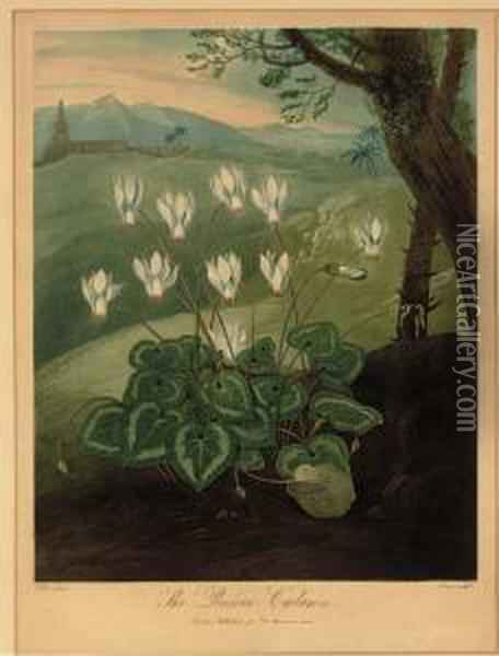 The Persian Cyclamen, From Dr. Thornton's Temple Of Flora Oil Painting - Abraham Pether