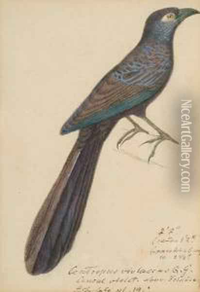 Centripus Violaceus (new Ireland  And New Britain, Pacific); Common Black Hawk (buteogallus Anthragius,  South America); Coua Serriana (madagasca); Egyptian Vulture (neophron  Perenopterus); Gray-crested Finch (lophospingus Griseocristatus, South  Ame Oil Painting - Heinrich Gotlieb L. Reichenbach