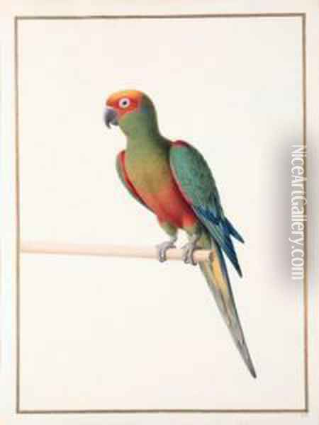 Conure A Tete D'or -  Golden-capped Conure - Aratinga Auricapilla Aurifrons. Native To Brazil Oil Painting - Nicolas Robert