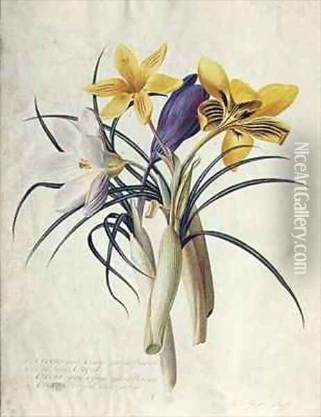 Study of Four Species of Crocus Oil Painting - Georg Dionysius Ehret