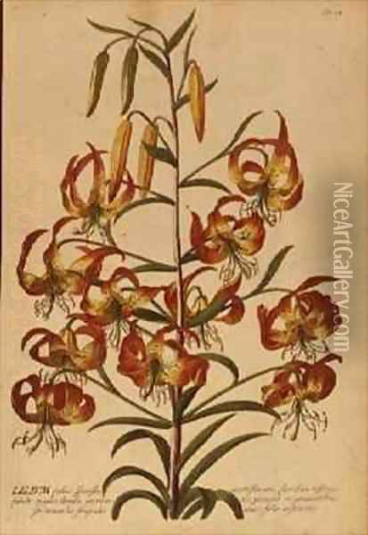 American Turkscap Lily from Plantae Selectae Oil Painting - Georg Dionysius Ehret