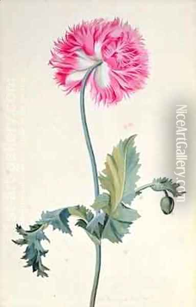 Peony Poppy Oil Painting - George Edwards