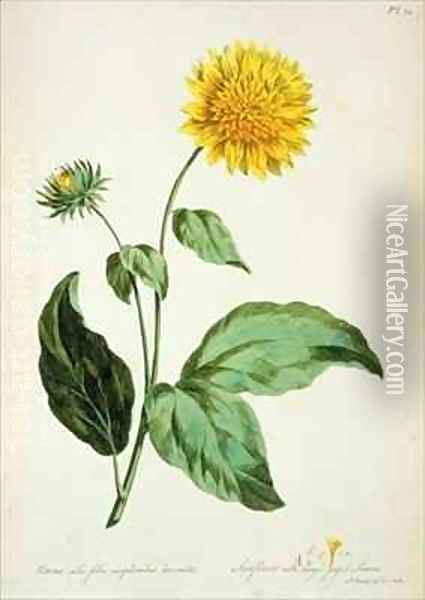 Sunflower with large jagged leaves Corona from The British Herbal Oil Painting - John Edwards