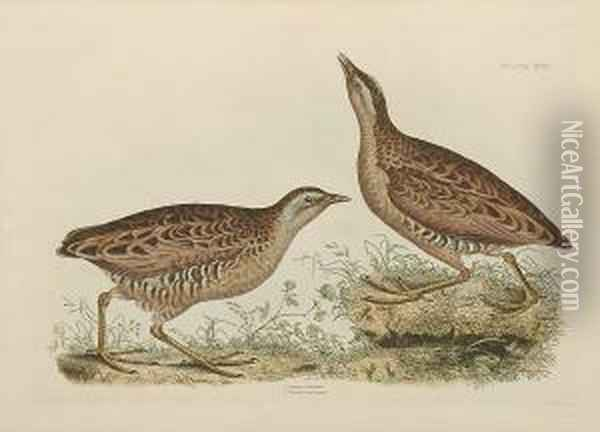 'common Dottrel Male Summer  Plumage Female Winter Plumage', 'sabines Snipe, Ground Snipe Summer  Plumage', 'little Grebe Summer Adult Plumage And Young', ' Common Crake  Male And Female' Oil Painting - Prideaux John Selby