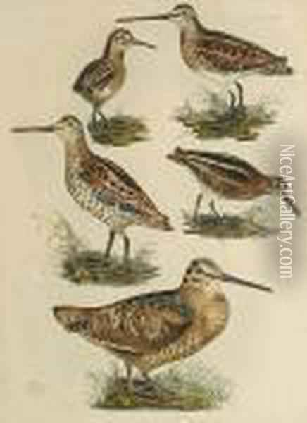 'woodcock, Solitary Snipe, 
