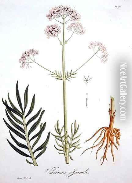 Valerian from Phytographie Medicale Oil Painting - L.F.J. Hoquart