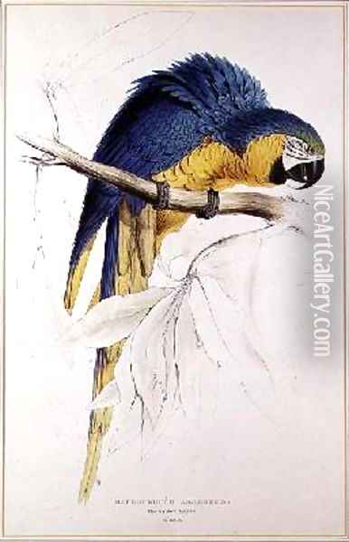 Blue and yellow Macaw Oil Painting - Edward Lear