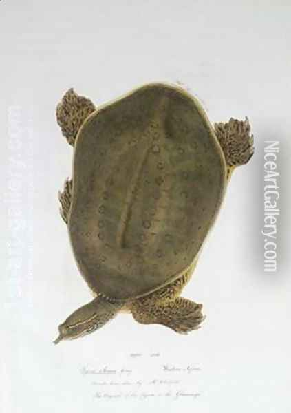 African Softshell Turtle Oil Painting - Edward Lear