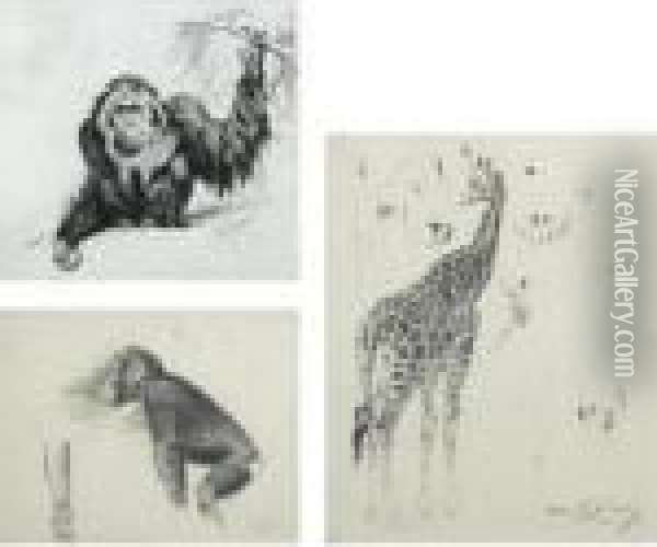 Three Studies: An Orangutan; A Chimpanzee; Giraffes Oil Painting - Wilhelm Kuhnert