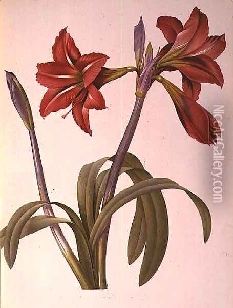 Amaryllis Brasiliensis, from Les Liliacees, 1816 Oil Painting - Pierre-Joseph Redoute