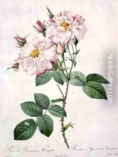 Rosa damascena variegata York and Lancaster rose, engraved by Bessin, from Les Roses, 1817-24 Oil Painting - Pierre-Joseph Redoute