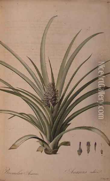 Bromelia Ananas, from Les Bromeliaceae Oil Painting - Pierre-Joseph Redoute