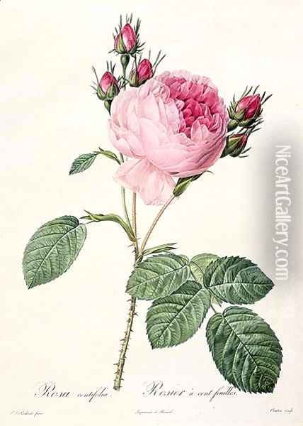 Rosa Centifolia, from Les Roses, engraved by Couten, published by Remond, 1817 Oil Painting - Pierre-Joseph Redoute