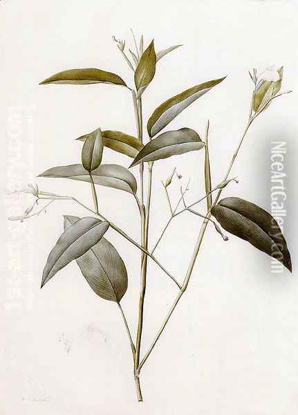 Maranta Arundinacea (or Arrowroot) Oil Painting - Pierre-Joseph Redoute