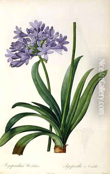 Agapanthus umbrellatus, from Les Liliacees Oil Painting - Pierre-Joseph Redoute