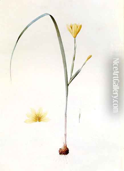 Sisyrinchium Collinum Oil Painting - Pierre-Joseph Redoute