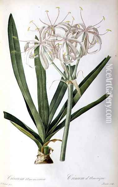 Crinum Americanum, from Les Liliacees Oil Painting - Pierre-Joseph Redoute