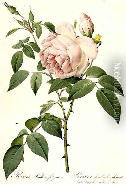 Rosa Indica Fragrans Oil Painting - Pierre-Joseph Redoute