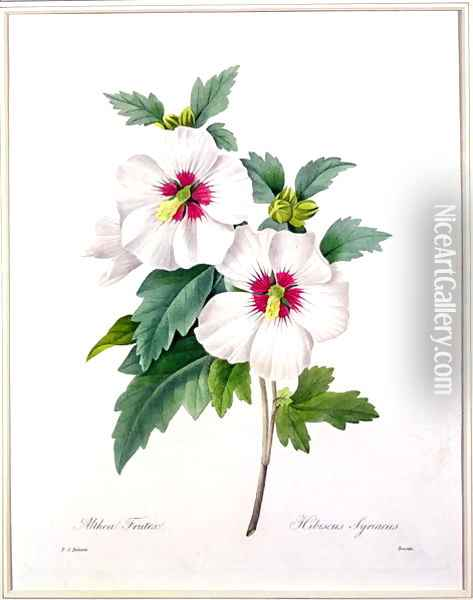 Hibiscus syriacus, engraved by Bessin, from Choix des Plus Belles Fleurs, 1827 Oil Painting - Pierre-Joseph Redoute