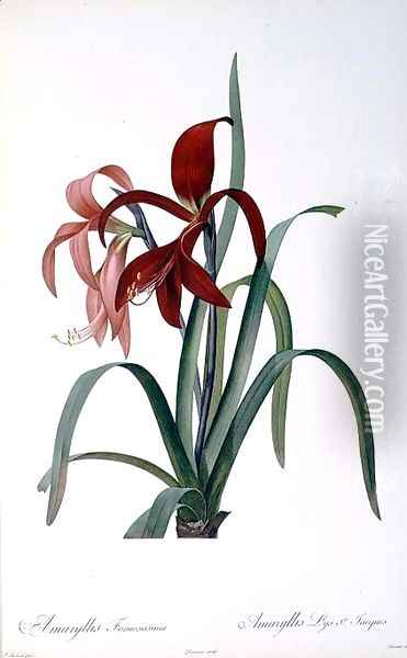 Amaryllis Formosissima, from Les Liliacees, 1808 Oil Painting - Pierre-Joseph Redoute