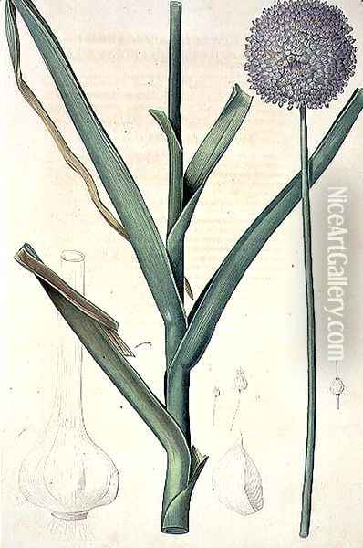 Allium ampeloprasum Levant Garlic engraved by Lemaire, plate 385 from the Plate Collection of the Botany Library, 19th century Oil Painting - Pierre-Joseph Redoute