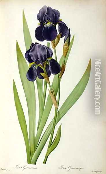 Iris Germanica, from Les Liliacees Oil Painting - Pierre-Joseph Redoute