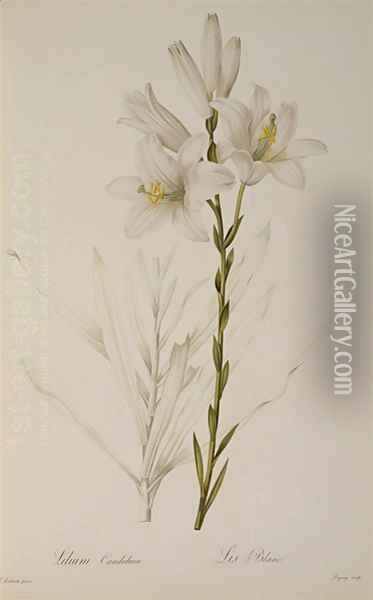 Lilium Candidum, from Les Liliacees, 1807 Oil Painting - Pierre-Joseph Redoute