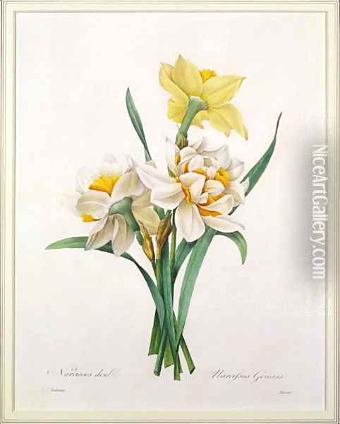 Narcissus gouani double daffodil, engraved by Bessin, from Choix des Plus Belles Fleurs, 1827 Oil Painting - Pierre-Joseph Redoute